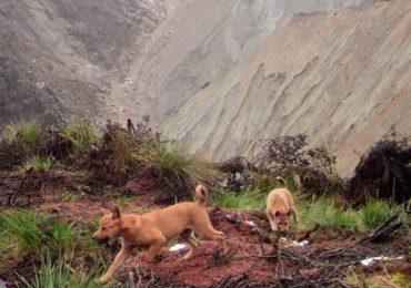 new-guinea-pups